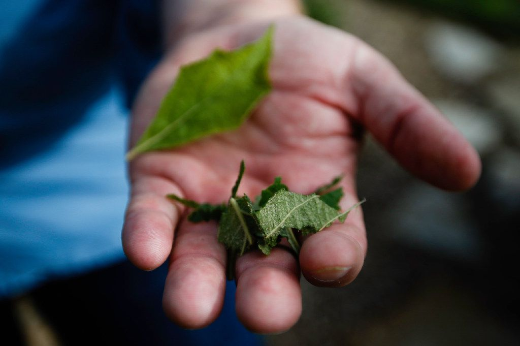 Daniel Cunningham demonstrates how to crush leaves to repel mosquitoes.