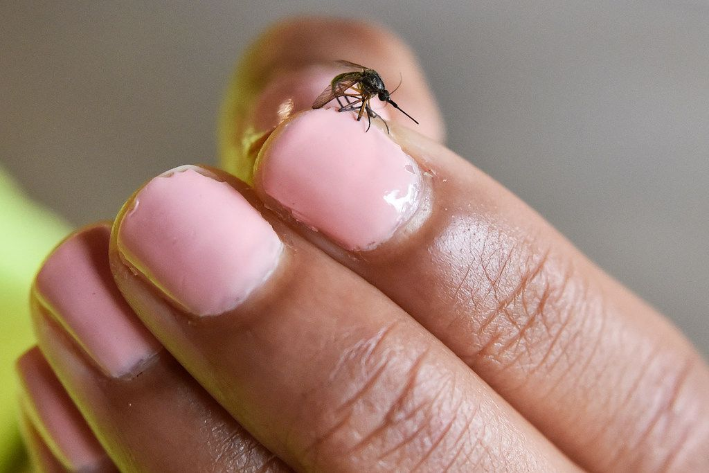 Erin Plaisance, assistant director of operations with Municipal Mosquito, holds a psorophora mosquito after killing it with a slap of her hand at their work garage in Richardson.