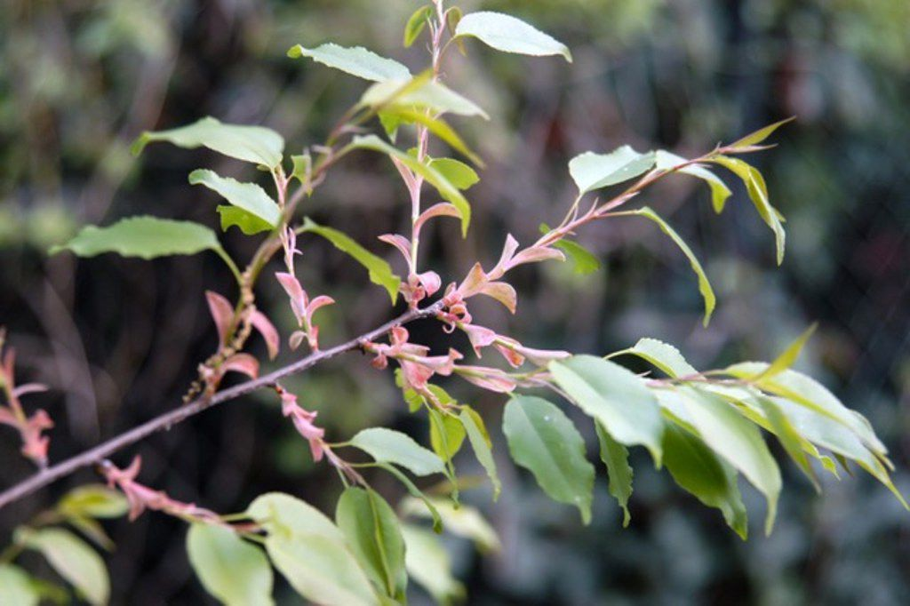 Buds begin to form in spring on the Escarpment black cherry tree.