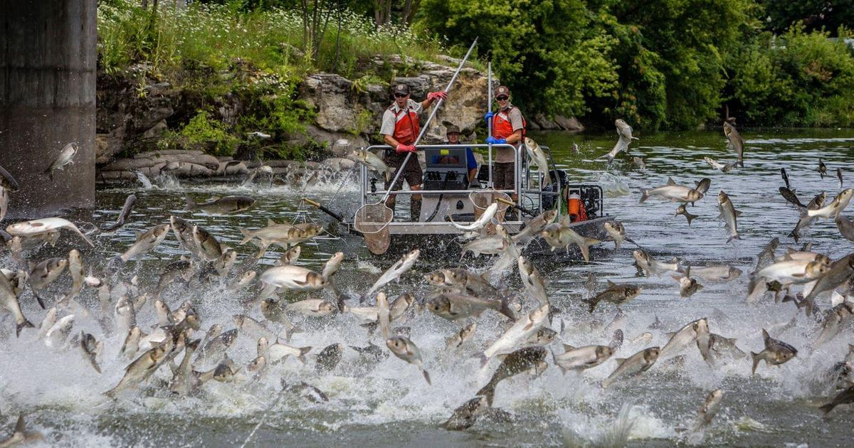 Silver carp native to China discovered at Choctaw Creek in Grayson County.