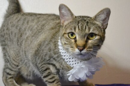 Oriole is a 2-year-old female Tabby.
