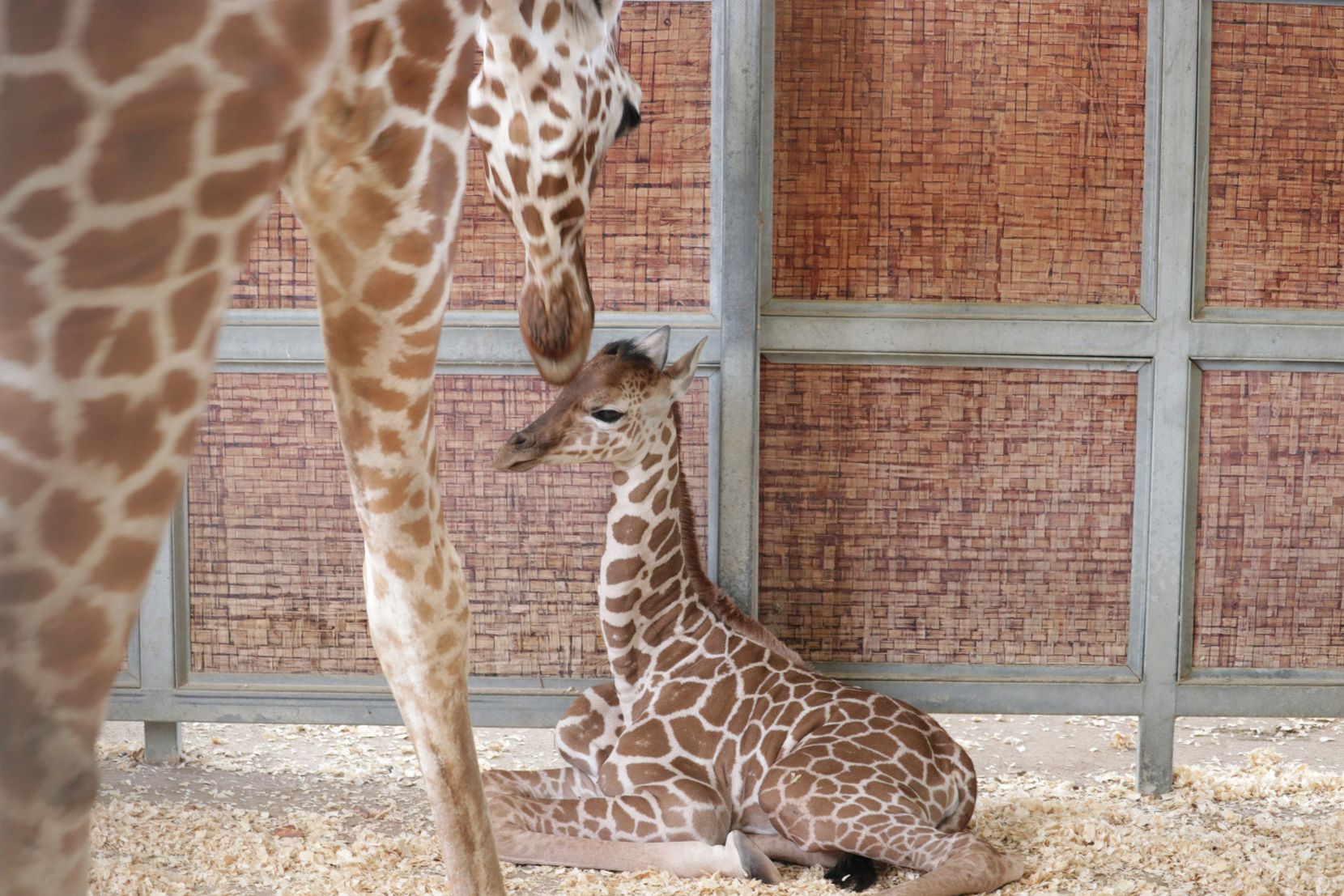 The Dallas Zoo's newest giraffe calf bonds in a behind-the-scenes enclosure with her mother, Chrystal.