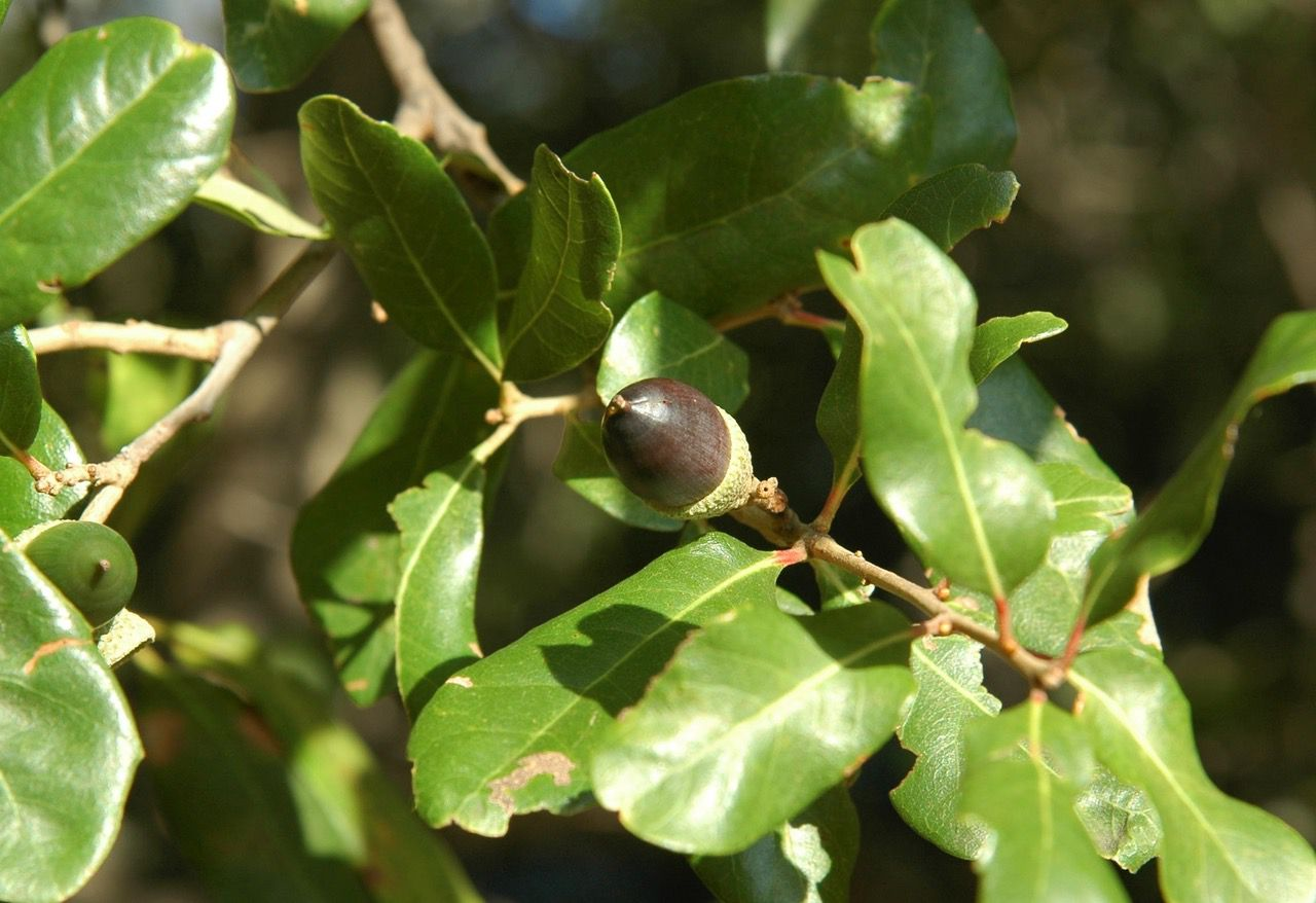 Live oak leaves vary tremendously in size and shape.