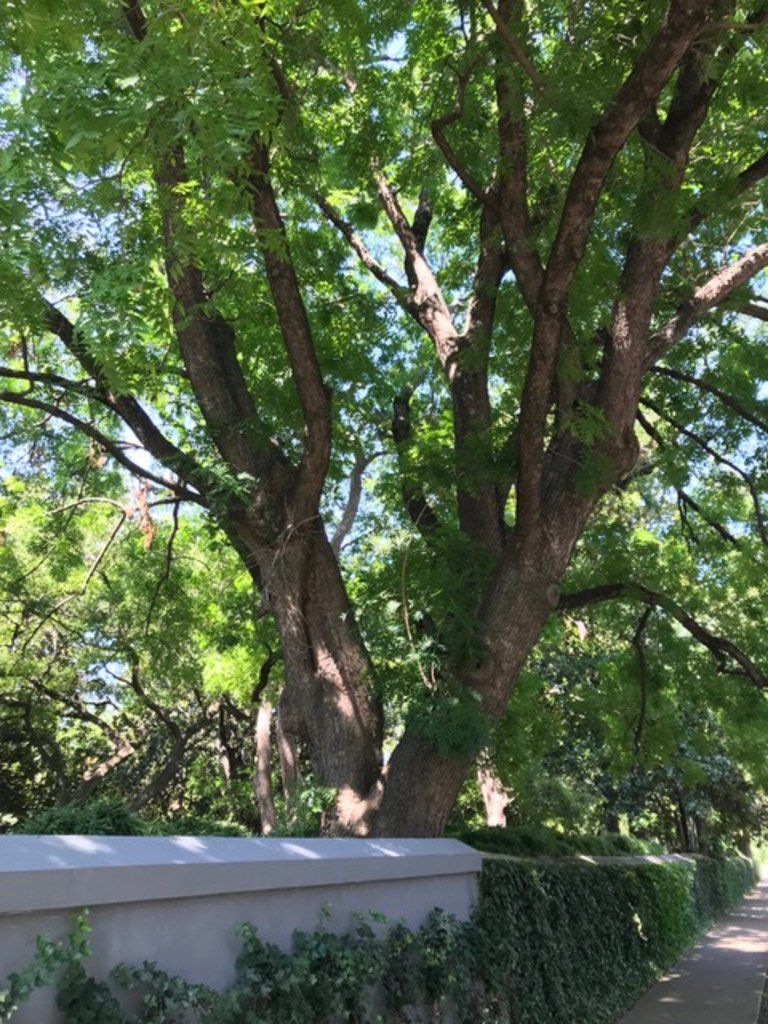 This Chinese pistache tree is located in Dallas along Turtle Creek and Armstrong.