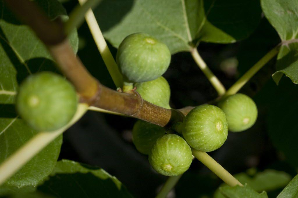 Figs grow on a tree in Dallas.
