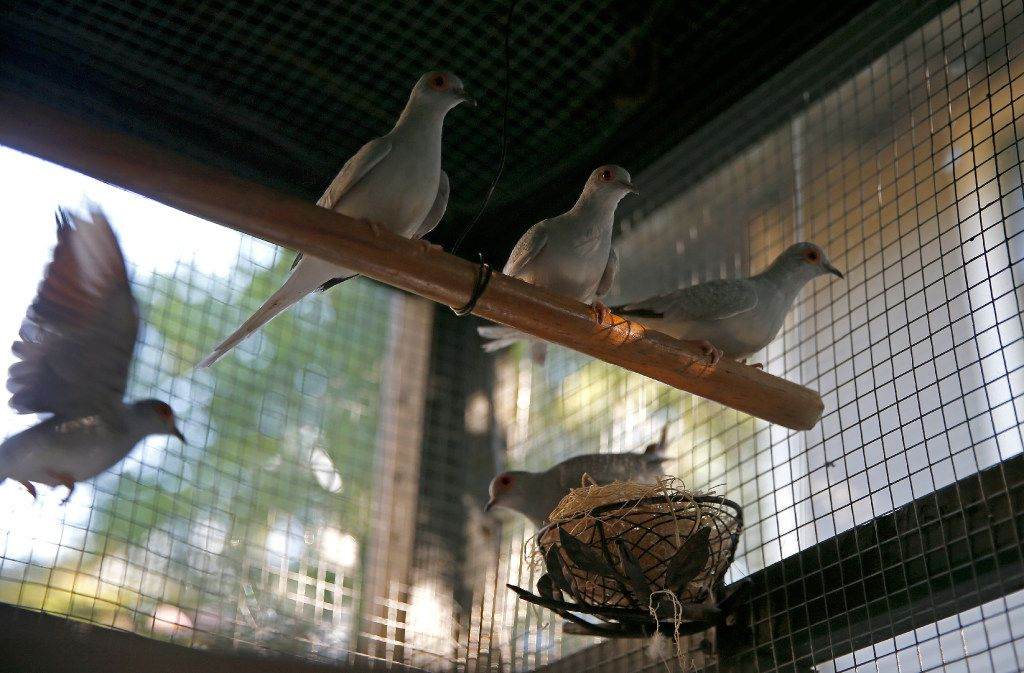 Diamond doves inside the aviary at Mariana Greene's home.