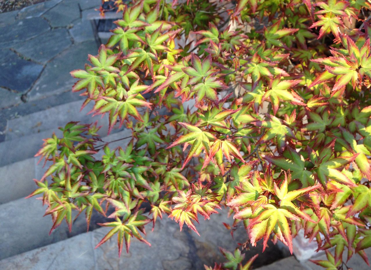 'Murasaki Kiyohime' is a great dwarf Japanese maple with dramatic spring color showing red-purple leaf borders with green centers. Its fall color is yellow, orange and red.