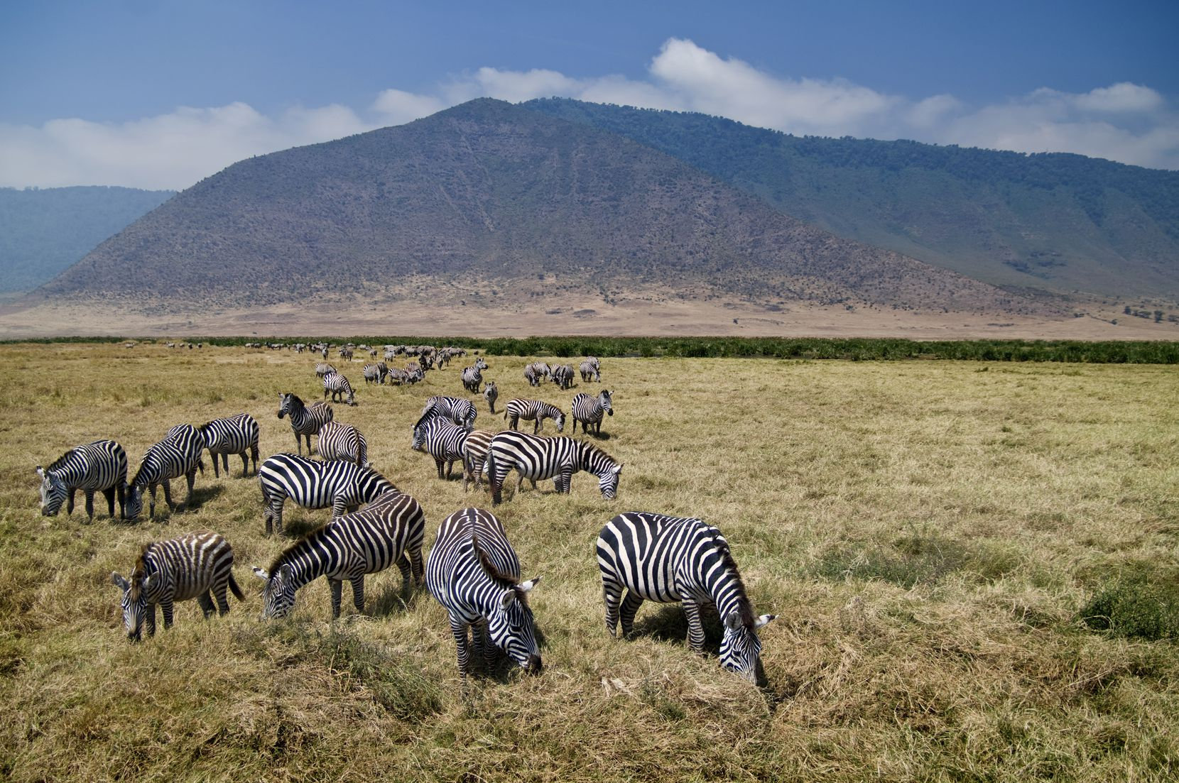A zebra herd grazes in Serengeti National Park.