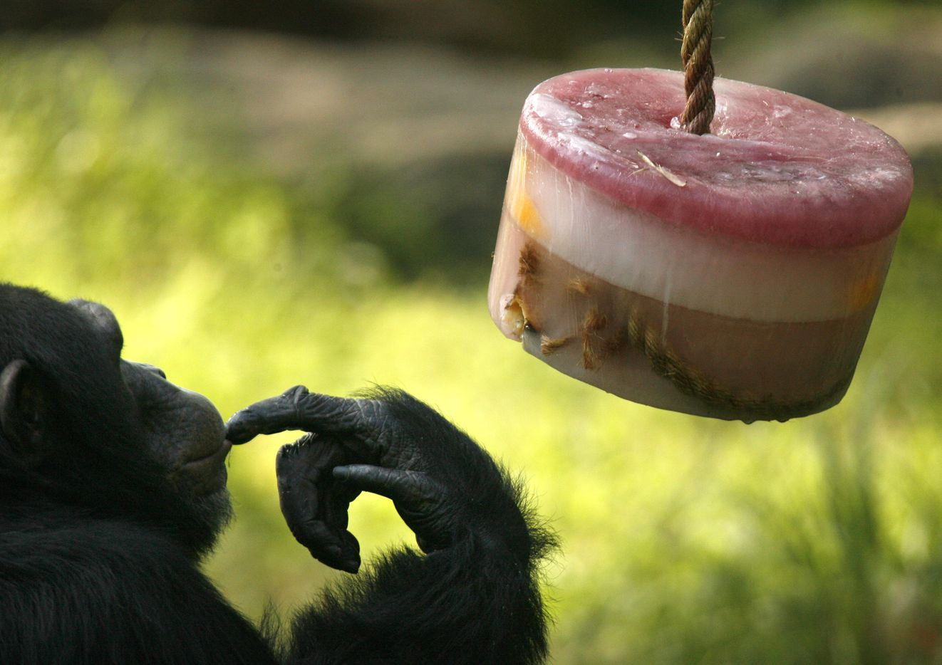 Mookie, a chimpanzee, tried to figure out how to eat a frozen treat at the Dallas Zoo in July 2006.