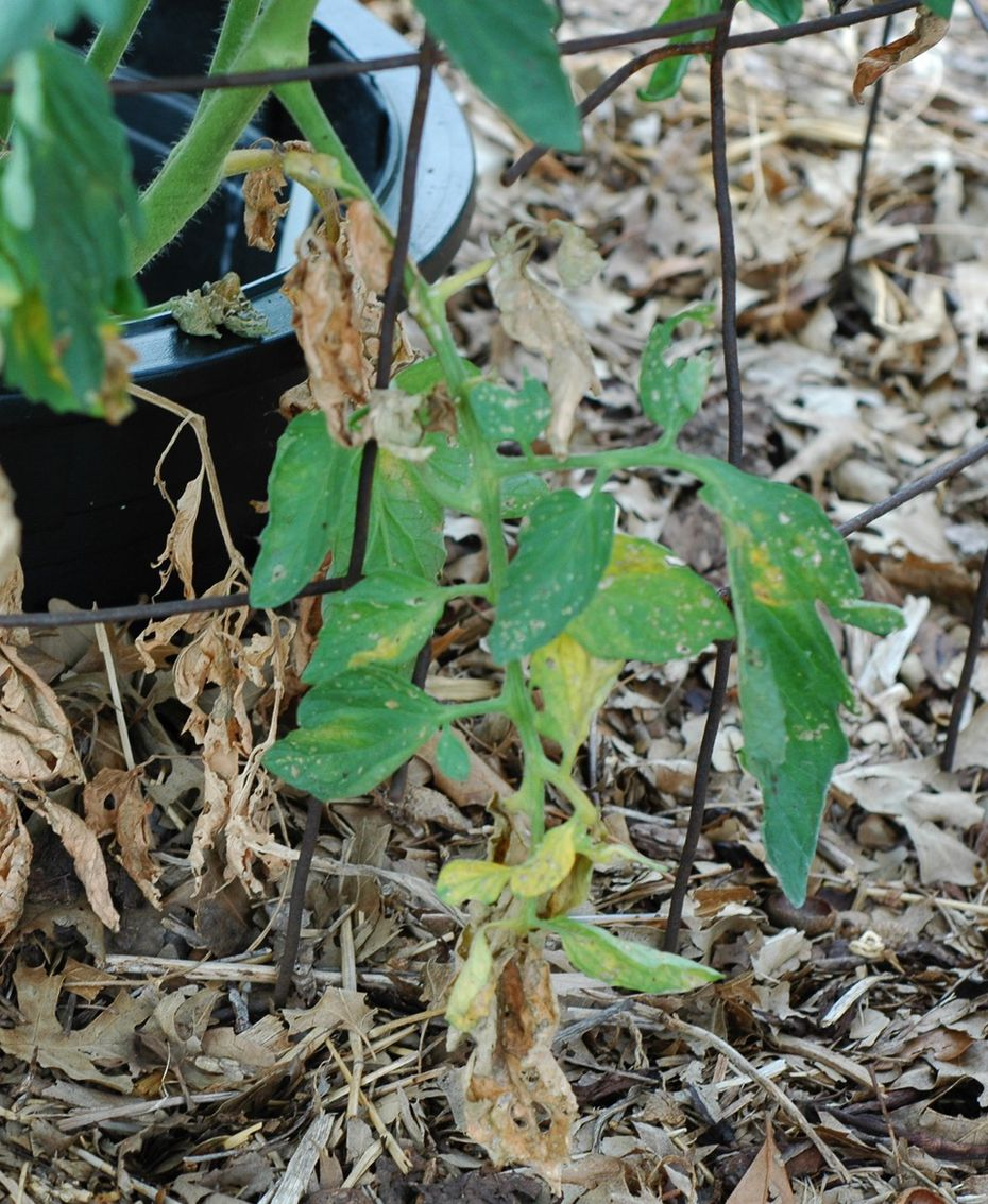 Early blight on tomatoes begins by yellowing the lowest leaves and then moves up the plant.