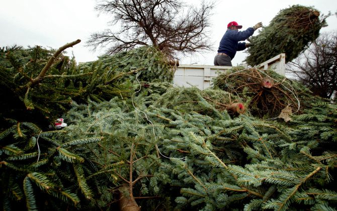 McKinney will collect Christmas trees left out by homeowners through January 16.