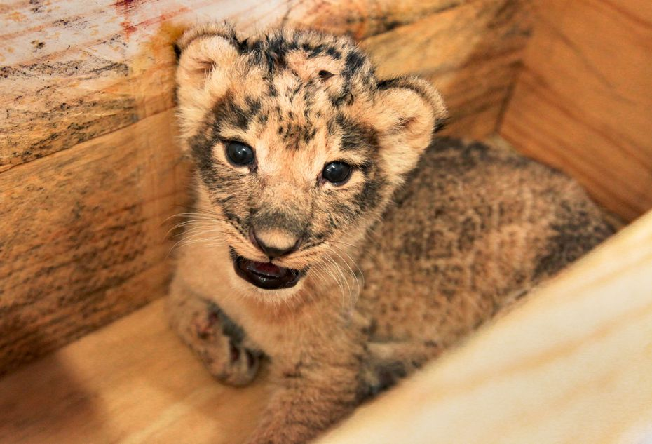 One of the two female cubs weighed 2.1 kilograms (about 4.6 pounds) after two weeks.