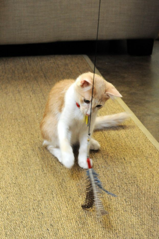 Cato plays with cat toys at Cat Connection featuring adoptable cats from Operation Kindness in Dallas, TX on August 8, 2015.