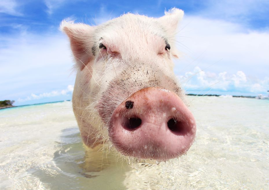 You can get up close and personal with the swine on Pig Beach.