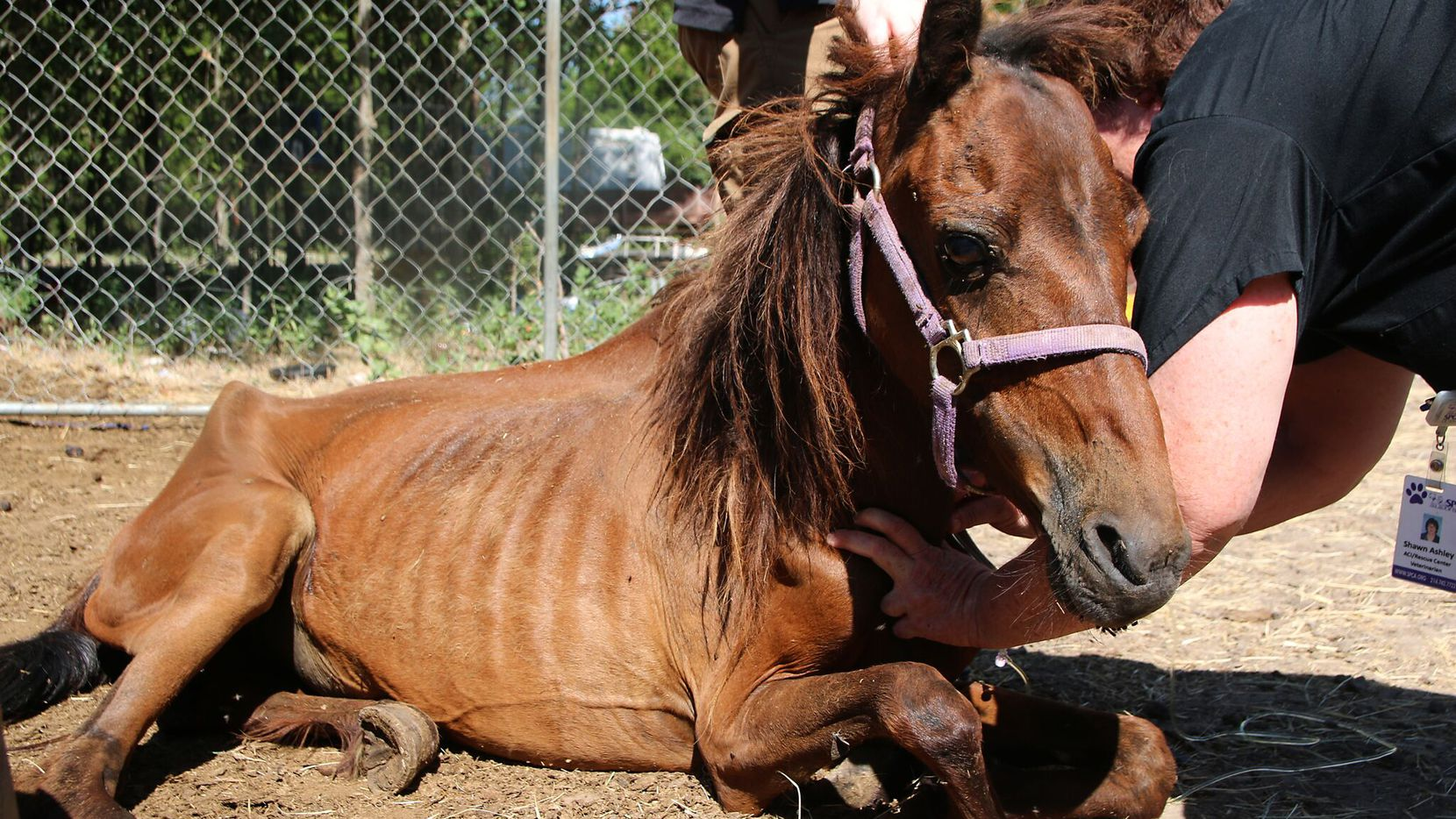 One of the starved horses the SPCA seized from a property in Dallas County.