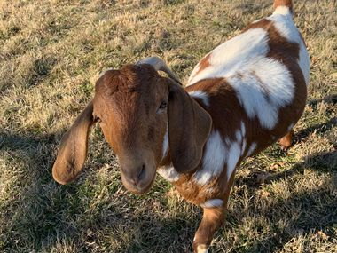 Todd Goat Farm is home to 20 Boer goats and a flock of chickens in Garland.