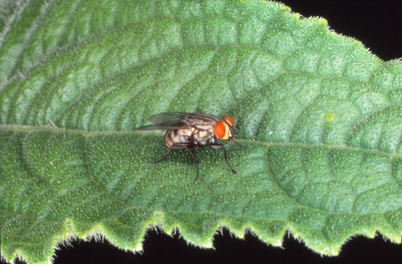 Tachinid flies come in thousands of species, all of which help control pest insects.
