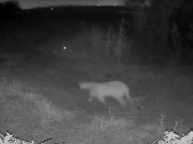 Stephanie Higgins of Rowlett recently posted on her Facebook page a trail camera video of a mountain lion walking down a dirt road at night. The spooky image showed a big cat with a long tail that touched the ground, a feature that distinguishes it from a bobcat for which the mountain lion is commonly mistaken. Texas Parks and Wildlife says it's the first confirmed sighting of a mountain lion in Dallas County in its records.