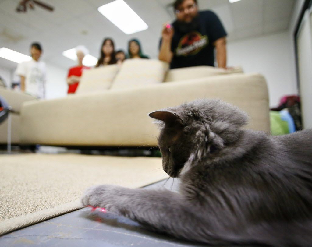 Bernice, a cat up for adoption and playtime rental, plays with a laser pointer during opening day at Cat Connection the first cat cafe in Dallas opening August 8, 2015.