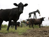 Cattle graze around an idle pump jack on a South Texas ranch near Bigfoot. (Eric Gay/The Associated Press)