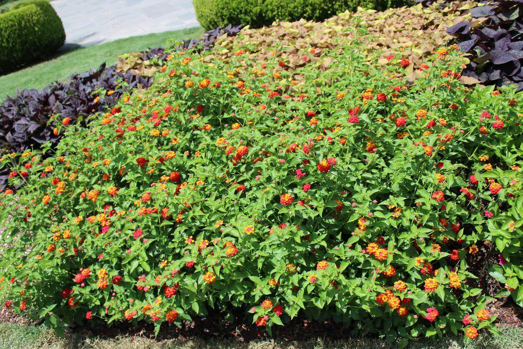 The lantana variety 'Citrus Blend' passed the 2019 plant trials at the Dallas Arboretum.