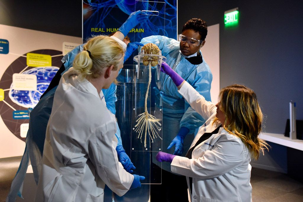Alicia Brown, anatomical embalmer supervisor at UT Southwestern Willed Body program, top-right, works with research assistant Evan Gordon, left, and Kelly Gleason, bottom-right, operations director at UT Southwestern Medical Center's Department of Psychiatry, to install a real brain and spinal cord for a new exhibit at the Perot Museum of Nature and Science titled Being Human Hall.