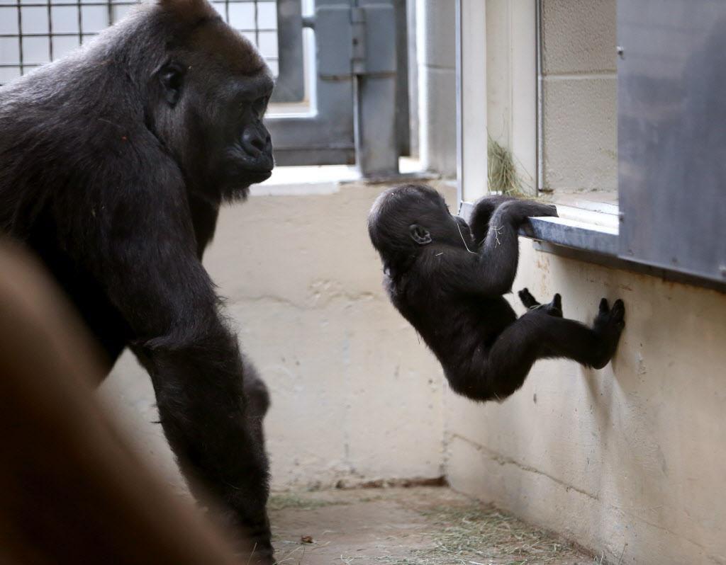 Hope, una gorila del centro de África, mira a su hija Saambili, de 7 años, trepar a un espacio con calefacción al interior del Zoológico de Dallas. ROSE BACA/DMN