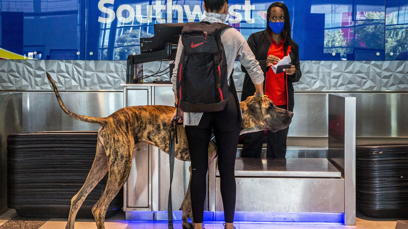 Southwest employee Ericka Thompson reacts to Jennifer Melchionne, from Houston, approaching the baggage check counter with her Great Dane, Blue, at Dallas Love Field in Dallas on Wednesday, Oct. 7, 2020.