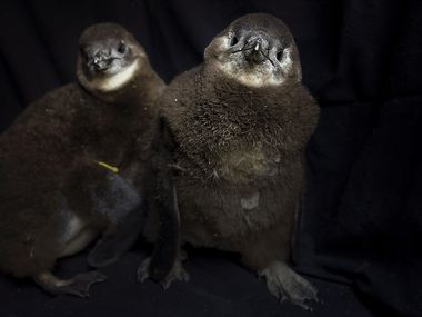Two recently hatched endangered African penguin chicks photographed at the Dallas Zoo on Thursday, March 18, 2021, in Dallas.
