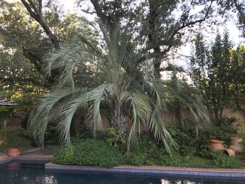 Pindo palm (Butia capitata) is a beautiful blue-green palm that is cold-hardy to 12-15 degrees.