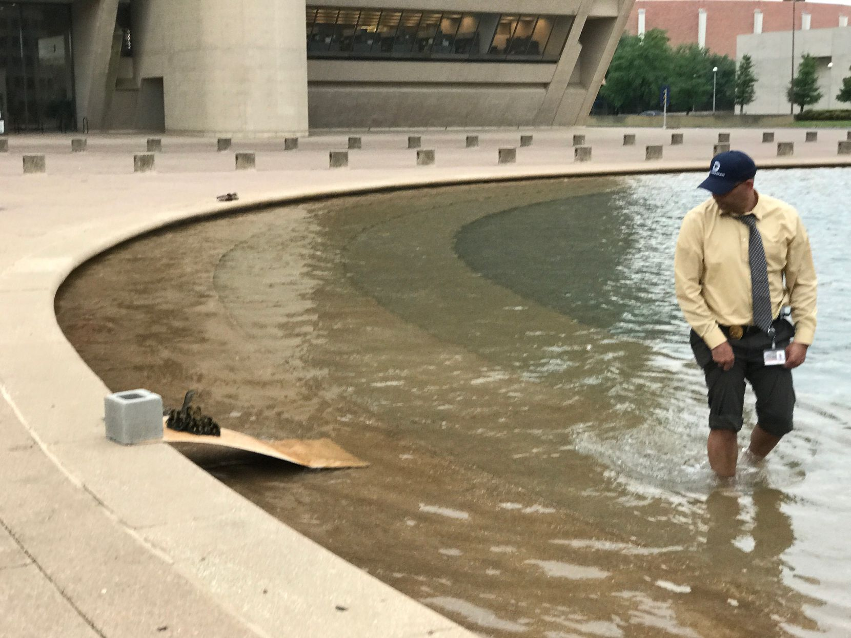 Dallas Animal Services director Ed Jamison waded into the reflecting pool at City Hall on April 23, 2019, to help herd a family of ducklings to safety after thy had tried unsuccessfully much of the day to clear the lip of the pool.