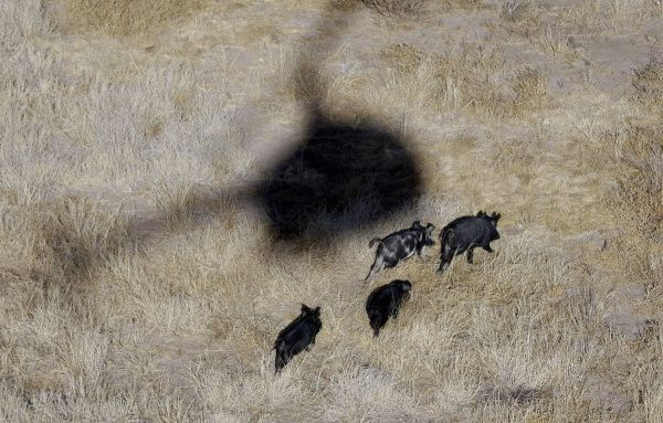 Aerial hunting of feral hogs became permissible in Texas a year ago. However, not many hunters take advantage of the opportunity, which can cost $300 to $1,000 per hour.