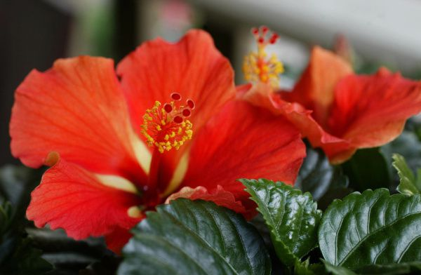 Potted tropical hibiscus must be protected from freezing temperatures in the Dallas area.
