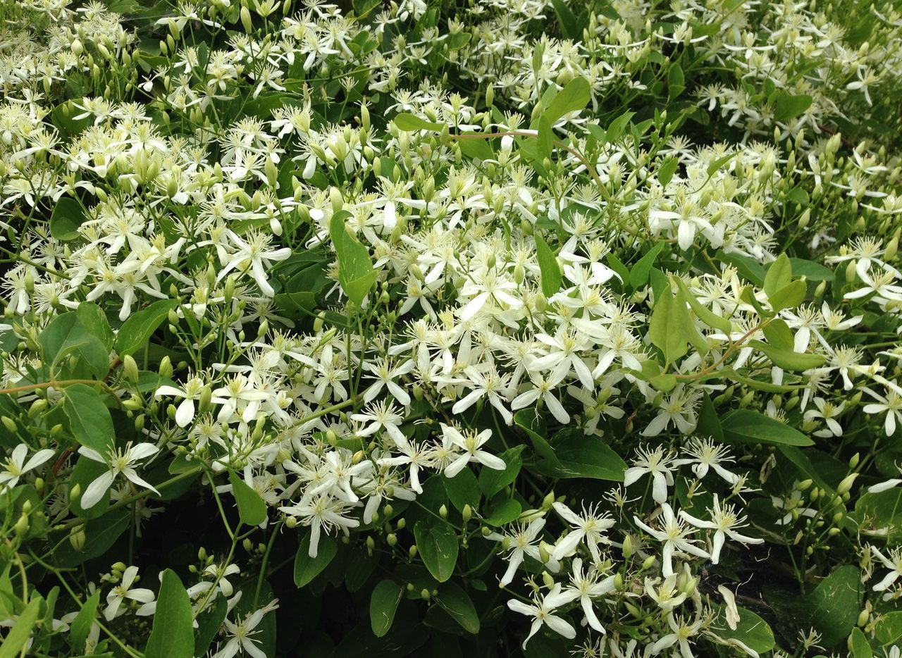 Sweet autumn clematis is bare in winter but regrows quickly in the spring to produce lots of small fragrant white flowers in late summer. It can grow a little out of hand but is easy to prune.