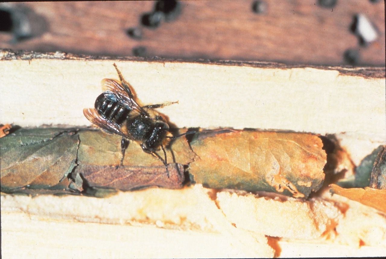 Leafcutter and mason bees are helpful, even though they do some cosmetic plant damage.