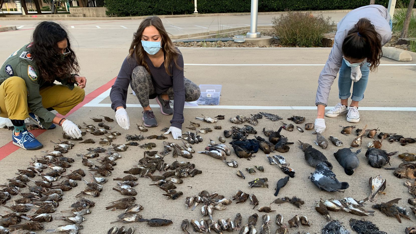 Volunteers collected 457 carcasses from 55 species of birds that died in collisions with brightly-lit buildings in Dallas this fall. Researchers believe the number would have been significantly higher without the Lights Out Texas campaign.