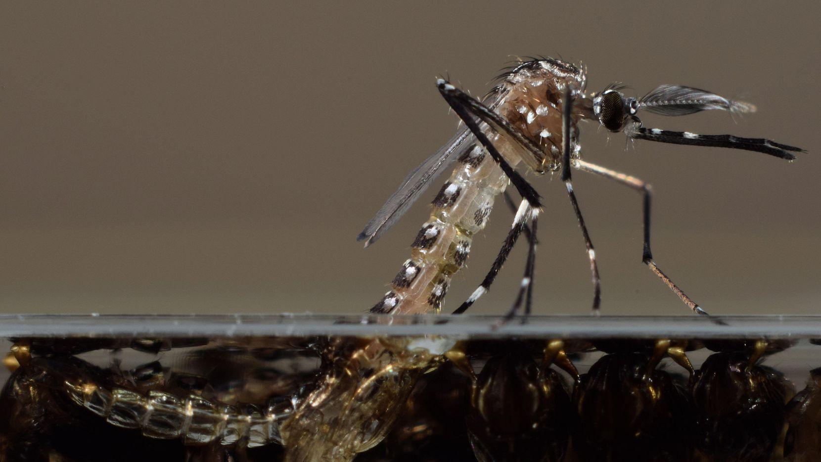 Los mosquitos modificados de Oxitec serán lanzados en el sur de la Florida este año. El objetivo es extinguir al Aedes aegypti, responsable del zika, virus del nilo y otros males.