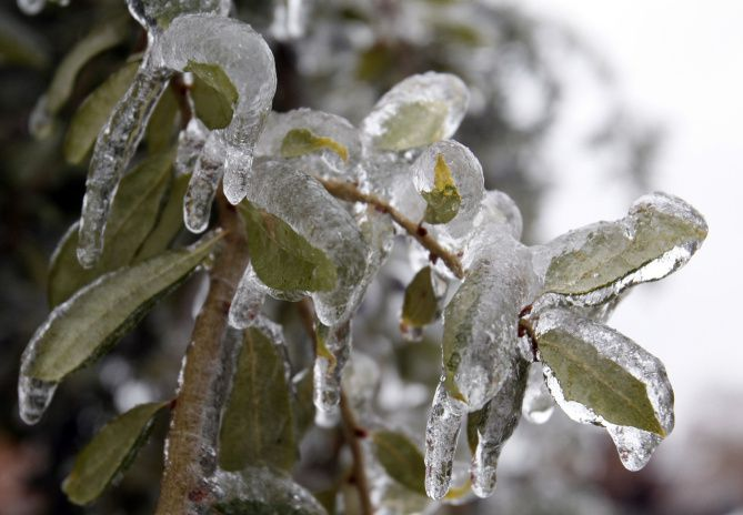 Leaves were coated with ice on a tree in Plano during the winter storms in February. Trees with a lot of foliage were defenseless against the weight of the storm.