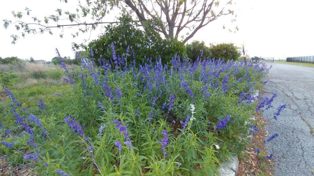 Mealy blue sage (Salvia farinacea)