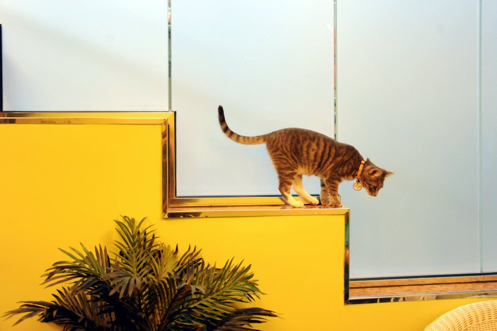 A cat jumps from a ledge to follow a laser pointer at The Charming Cat Corner.