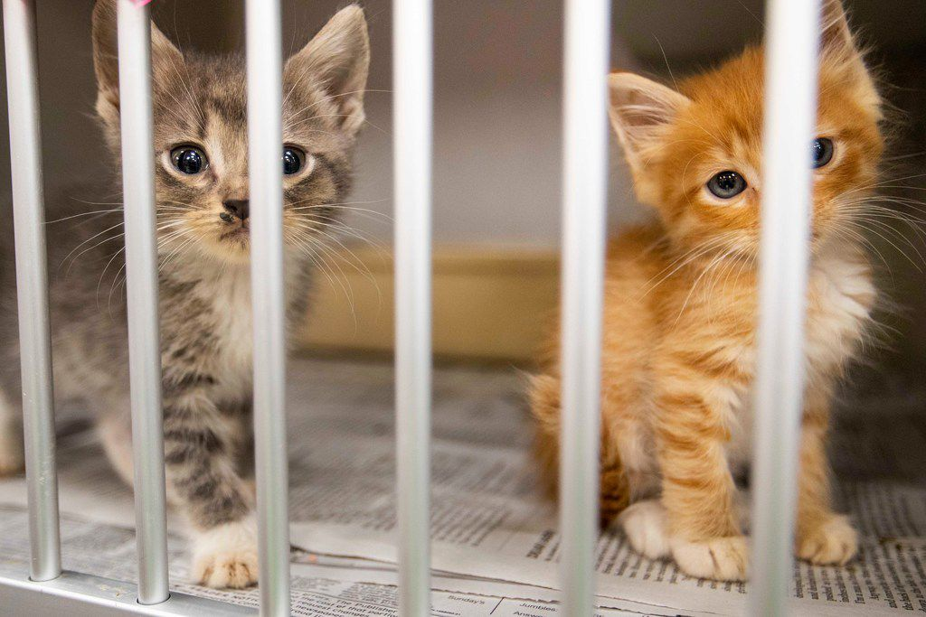 Kittens look out from their kennel while awaiting adoption at the Dallas Animal Services & Adoption Center on Monday, June 11, 2018, in Dallas.