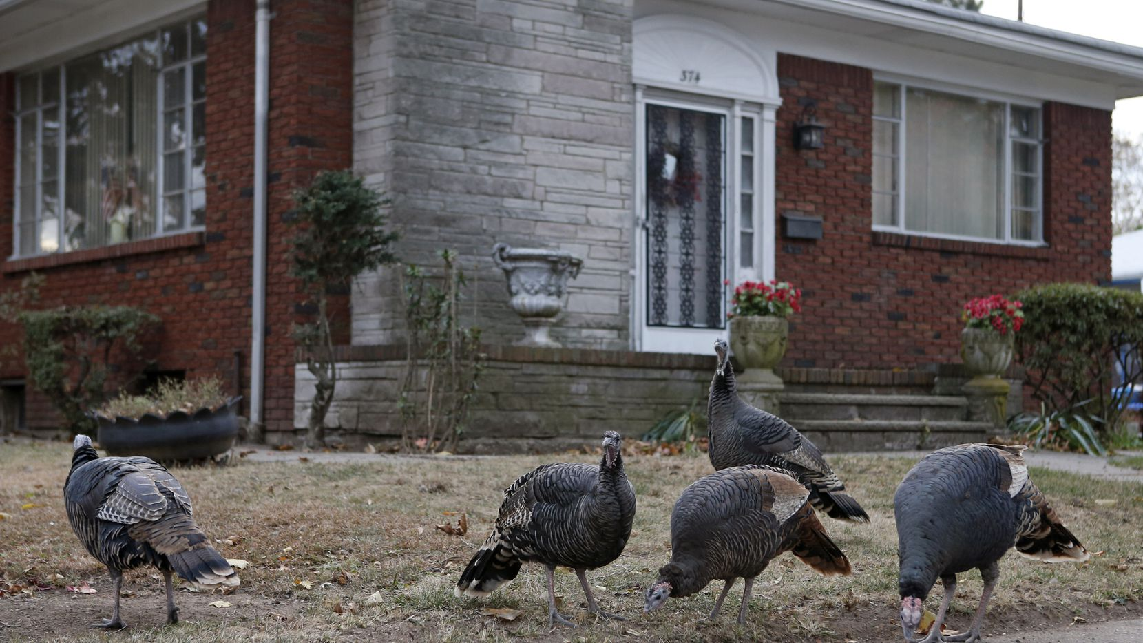 Wild turkeys nibble in front of a house on Staten Island.