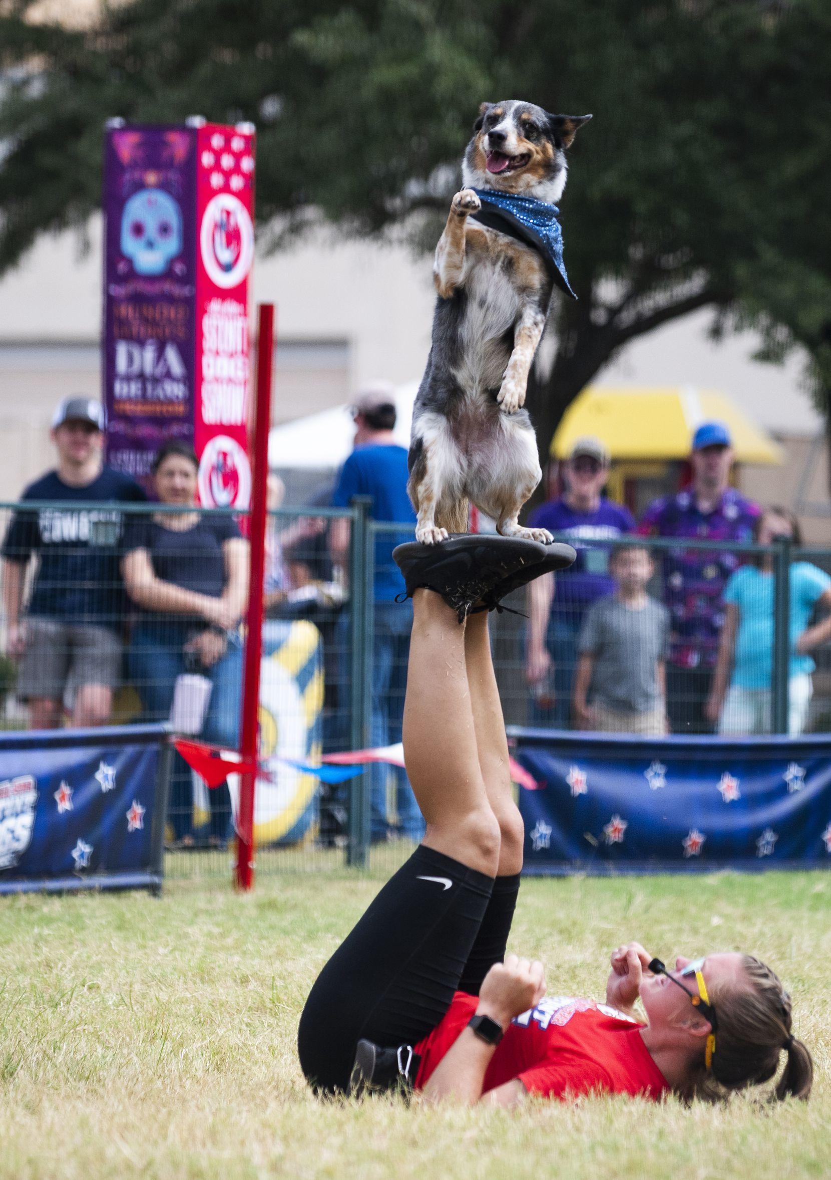 La entrenadora de perros Kara Robertson trabaja con Kaboodle durante el All-Star Stung DogShow en la Feria Estatal de Texas.
