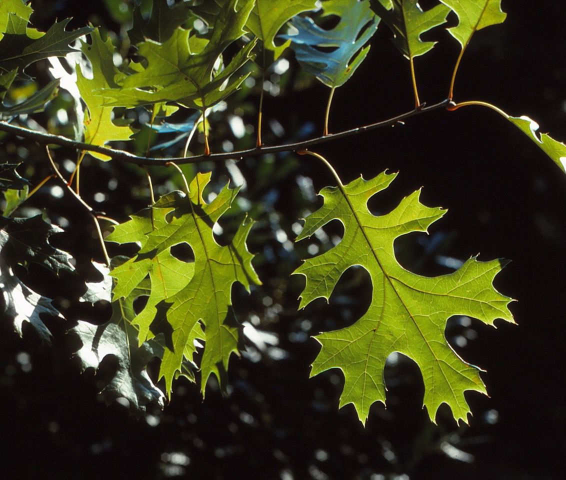 Red oaks are beautiful, but beware of crossbred trees.