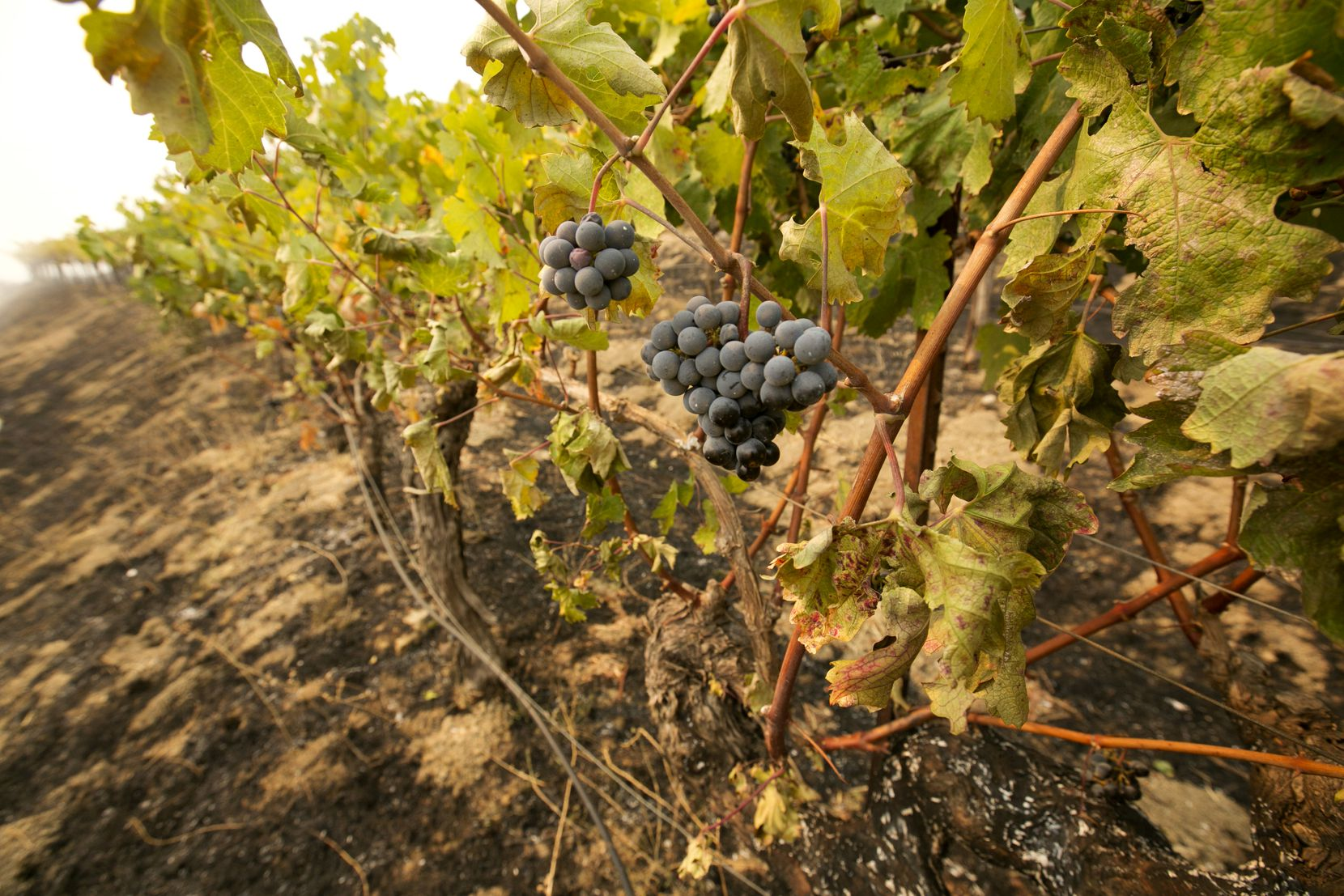 Grapes hang from vines where the flames of a wildfire swept through Monday, Oct. 9, 2017, in Napa, Calif. Wildfires whipped by powerful winds swept through Northern California sending resident on a headlong flight to safety through smoke and flames as homes burned.