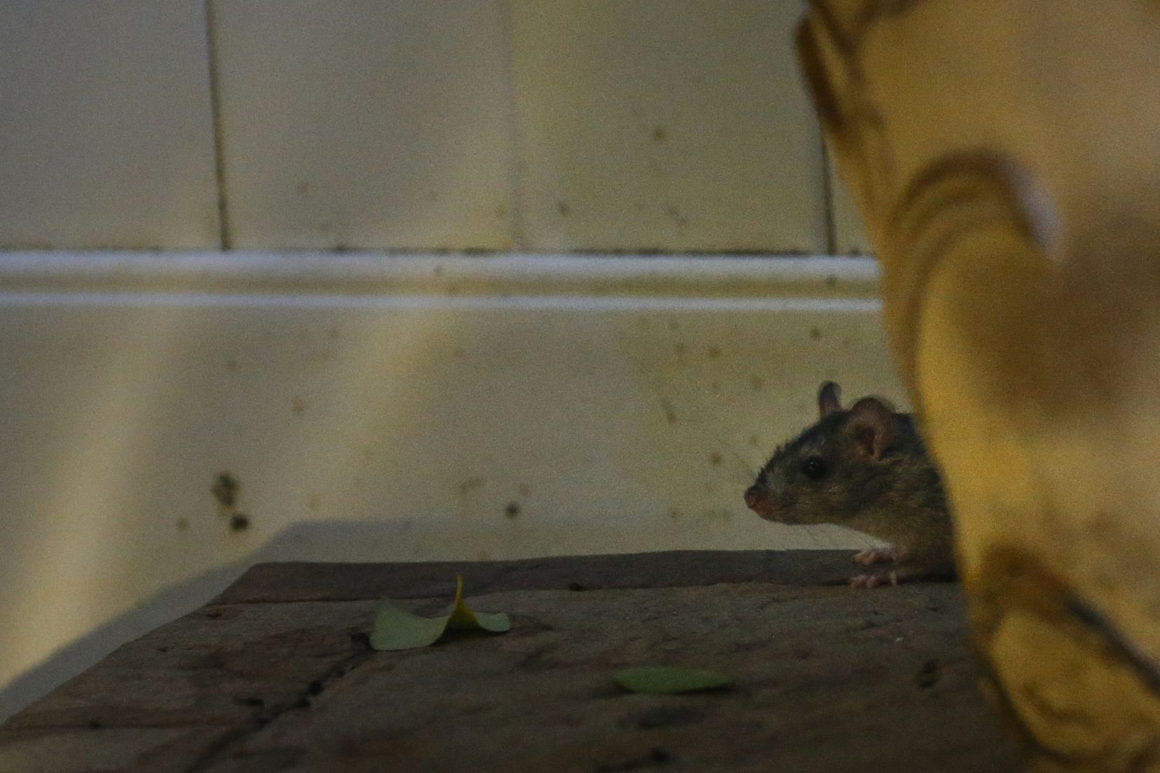 A skittish rat peeks from behind a planter in a Plano backyard.