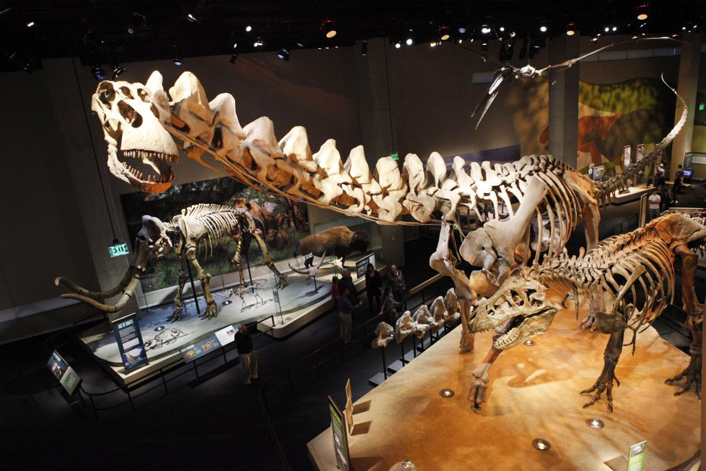 The dinosaur exhibit in the T. Boone Pickens Life Then and Now Hall at the Perot Museum of Nature and Science in Dallas on Tuesday, November 20, 2012. The largest skeleton is Alamosaurus.