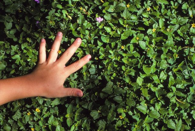 Horseherb is an easy-to-grow and durable native flowering groundcover.