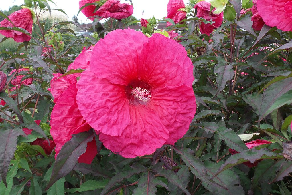 'Plum Fantasy' hibiscus