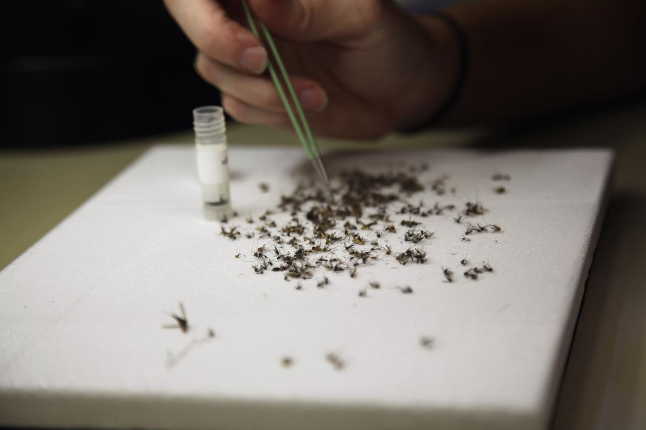 Christy Roberts, de los servicio de salud pública del condado de Harris, examina mosquitos recolectados en busca del virus del zika. (AP/JOHN MONE)